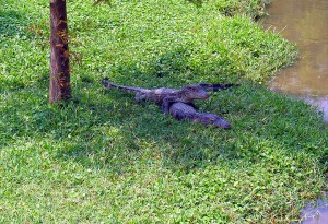 baby alligators chillin' in the shade