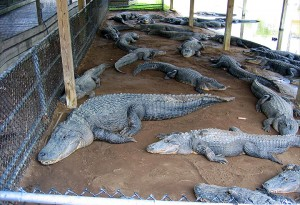 huge alligators chillin' in the shade
