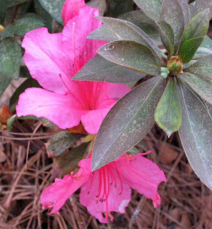 First Azalea of Spring?